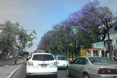 Jacaranda trees in Mexico City